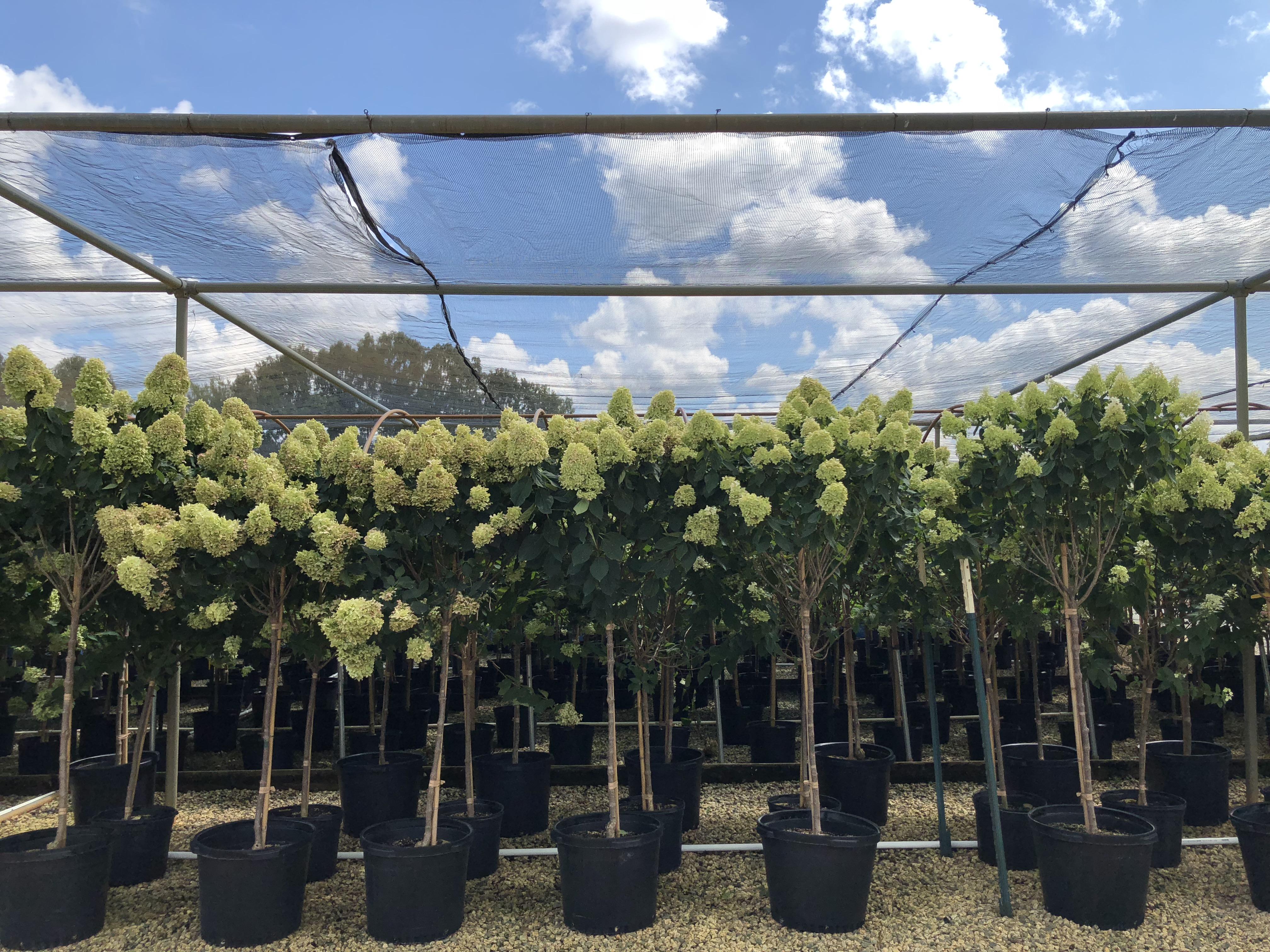 Treeform Limelight Hydrangea